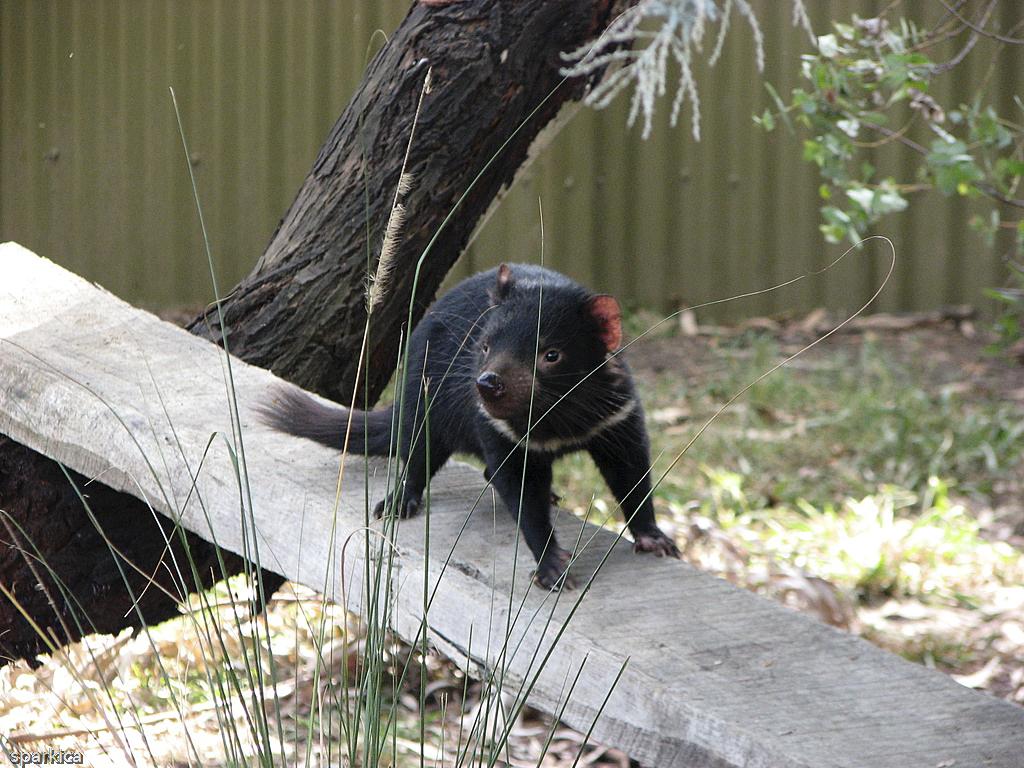 Tasmanski vrag v bojni pozi
